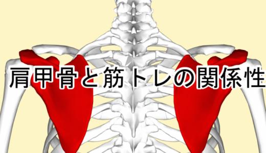 肩甲骨と筋トレの関係性まとめ!重要な働きとおすすめの鍛え方&寄せ方